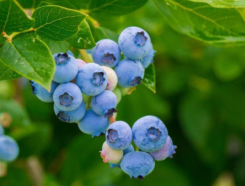 目をはじめ健康全般に良い食品として注目されているブルーベリー